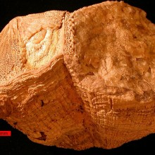 ~ 70 million years old rudist (bivalve), which shell's chemistry reveals days were 30 min. shorter